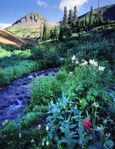 Wildflowers near Ouray, Colorado
