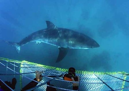 Shark Diving in Gansbaai, South Africa