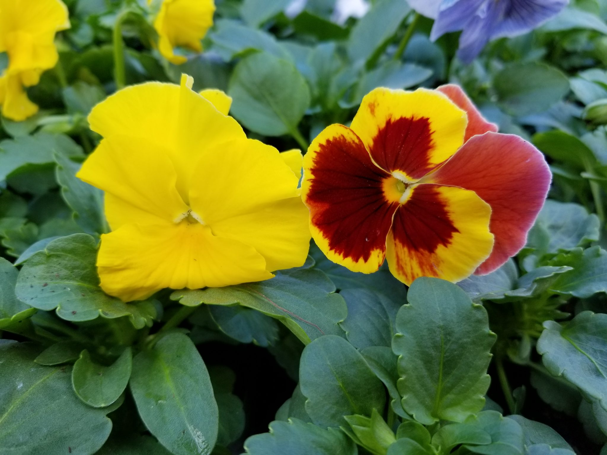 Gardening with Pansies