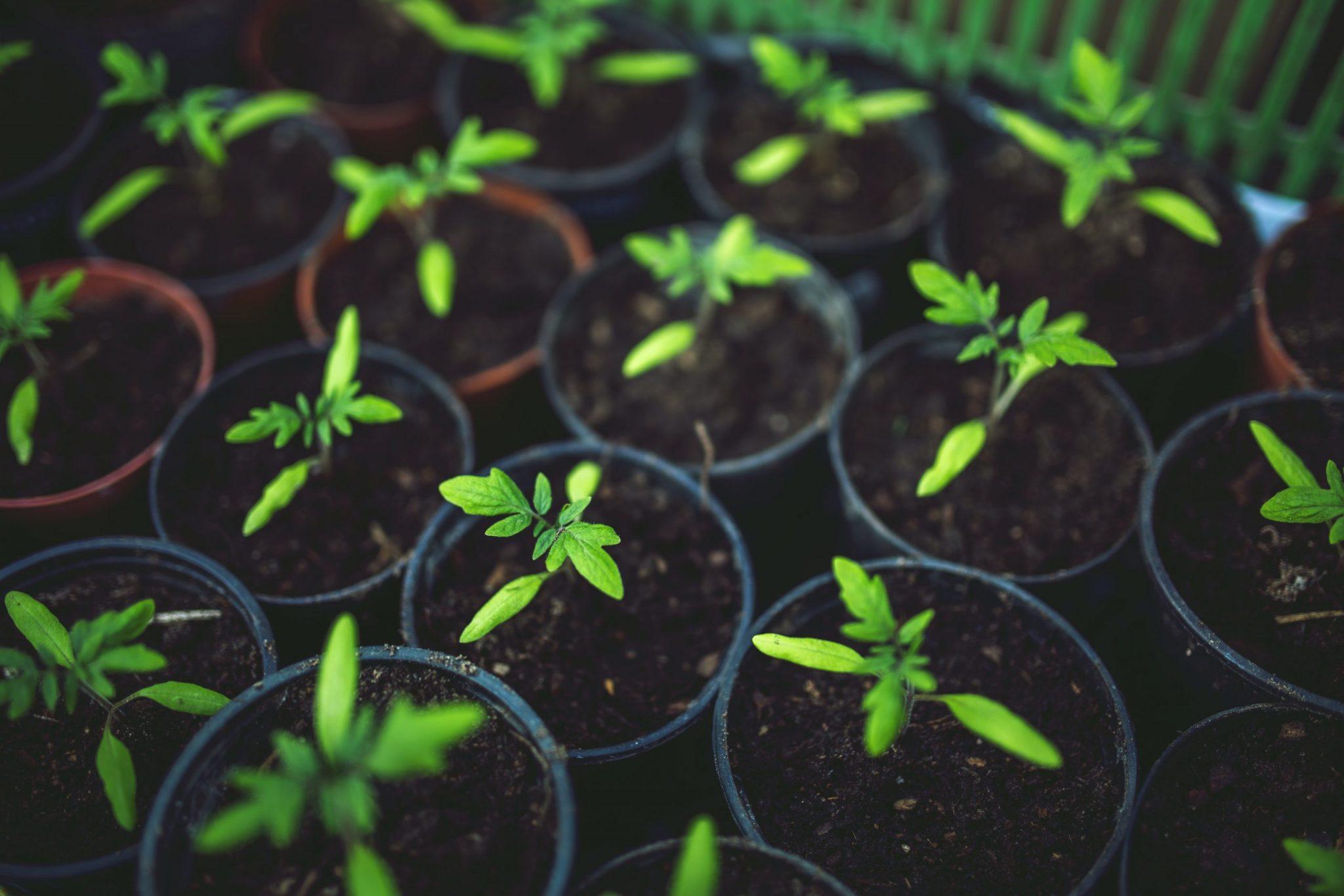 cannabis buying Grow CBD Flowers Indoor Gardening
