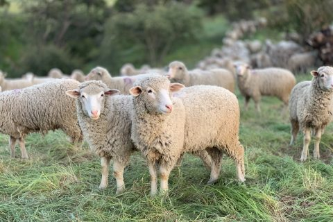 Sheep Producer